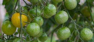 d6de23e86 Tomates orgânicos do Sítio do Moinho, combinam com tudo. Confiram o texto  da nutricionista